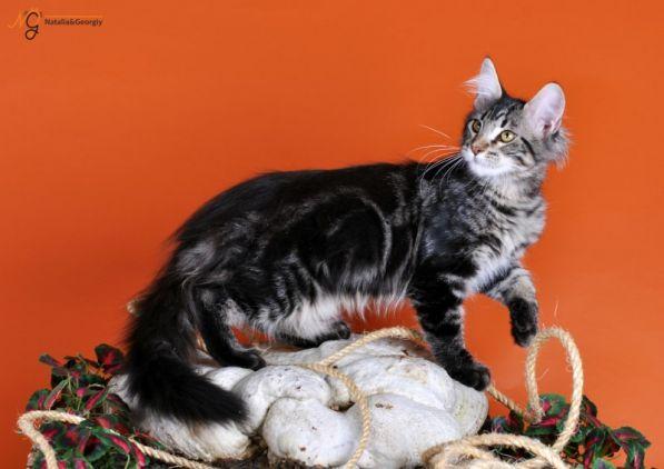 Мейн кун - самая большая и самая ласковая домашняя кошка.