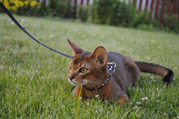 ОБЩЕЕ ВПЕЧАТЛЕНИЕ: идеальная абиссинская кошка создает впечатление...