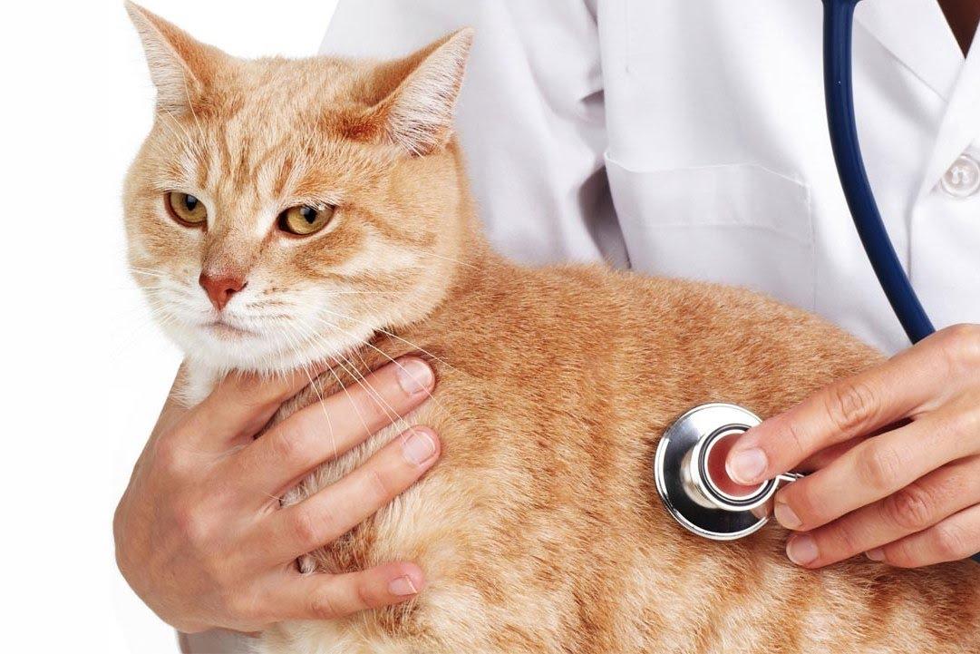 Самые распространенные болезни кошек - лейкемия, мочекаменная болезнь,  блохи.