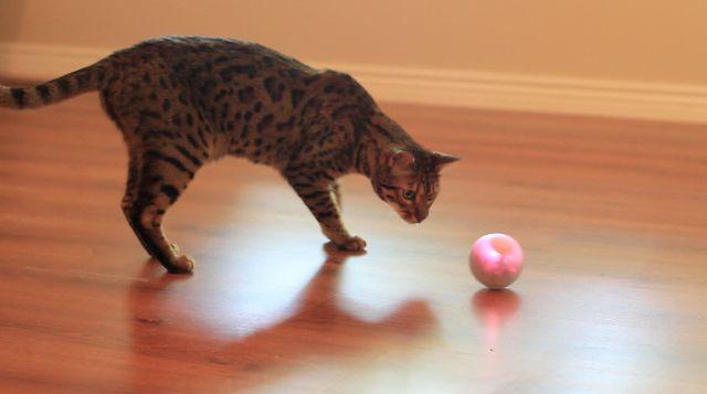 Коты играют с  GoSphero
