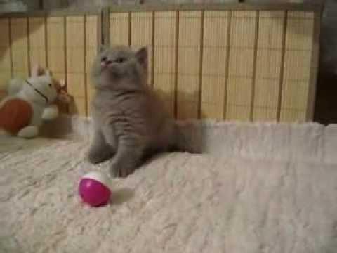 Британские лиловые котята. Породы кошек
