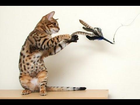 Кошка - Бенгальская кошка (домашняя)