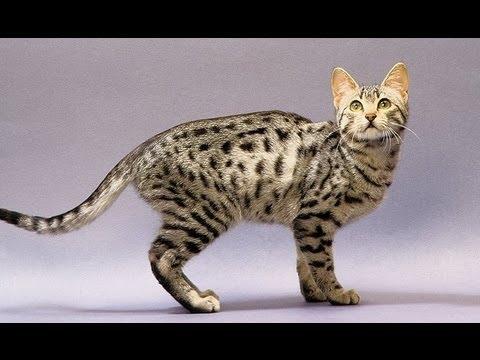 Кошка - Египетский мау