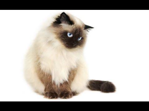Кошка - Гималайская