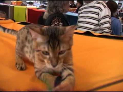Выбор породы - Бенгальская кошка (домашняя)