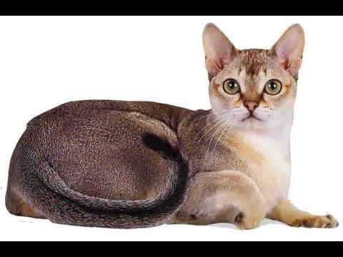 Выбор породы - Сингапурская кошка