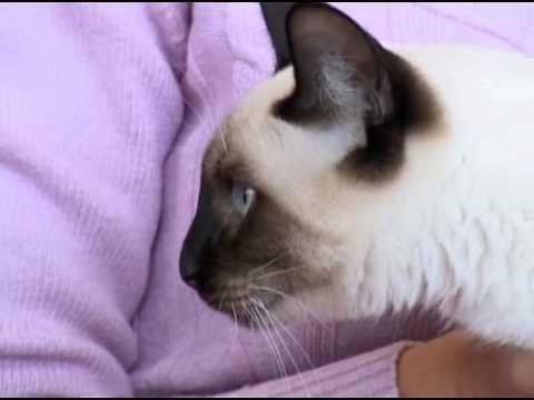 Выбор породы - Тайская кошка