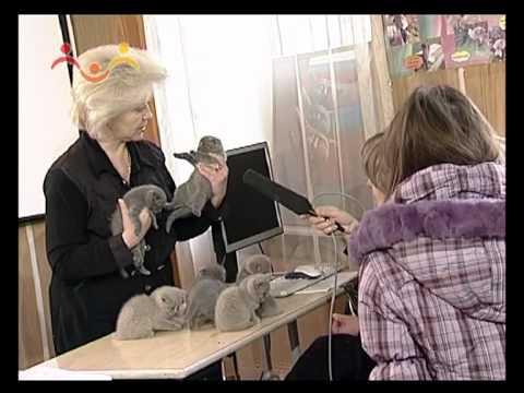 Абиссинские котята. Телепередача.