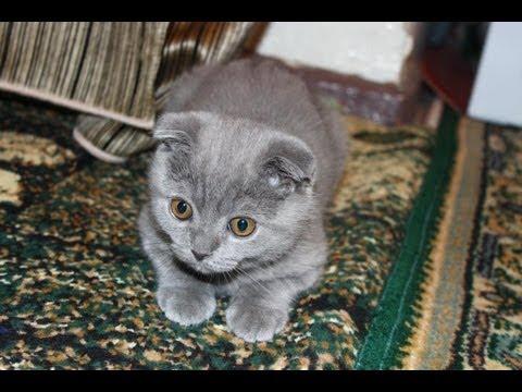 Cute Scottish Fold Kitten | 3 Month | Шотландская Вислоухая | 3 месяца