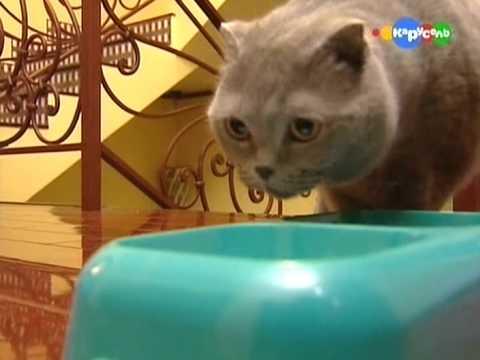 Детям о британской короткошерстной кошке