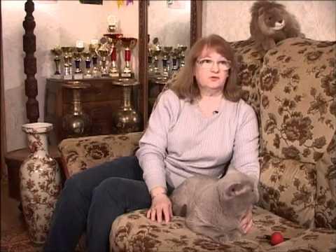 Кошки. Британские короткошерстные
