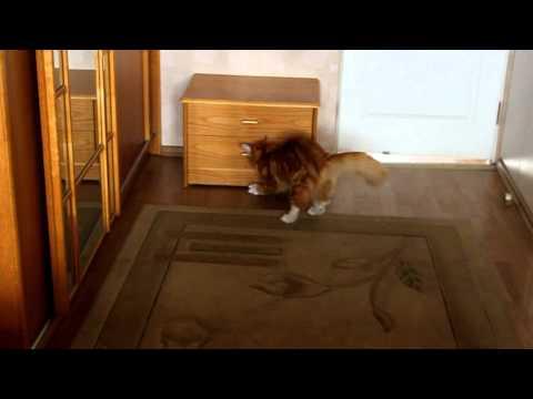 Мейн-кун - это порода кошек с интелектом собаки.