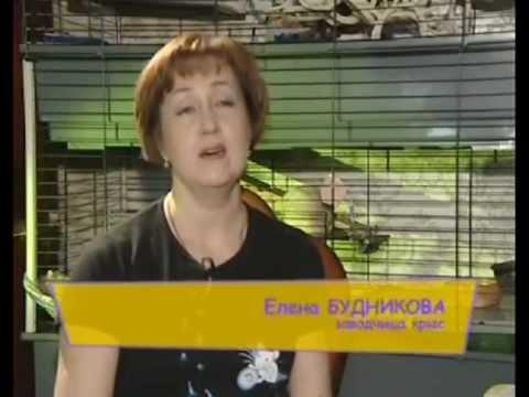 Про усатых и хвостатых - декоративные крысы
