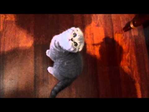 Шотландская вислоухая кошка (полная версия) / Scottish Fold (full version) / HD
