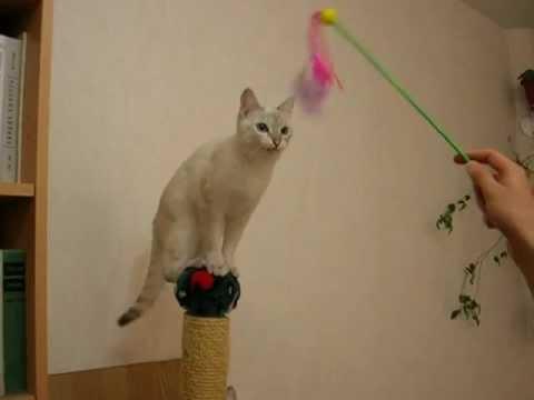 Тайская кошка - эквилибрист!!! Смотрите все! - Thai Cats -