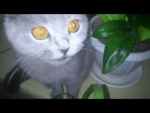 злая шотландская кошка 2