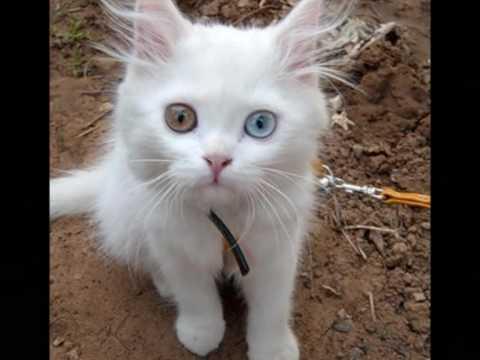 Белые коты с разными глазами.wmv