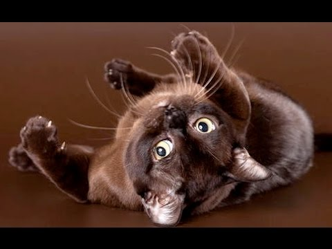 Американская бурма. Породы кошек. Дай Лапу