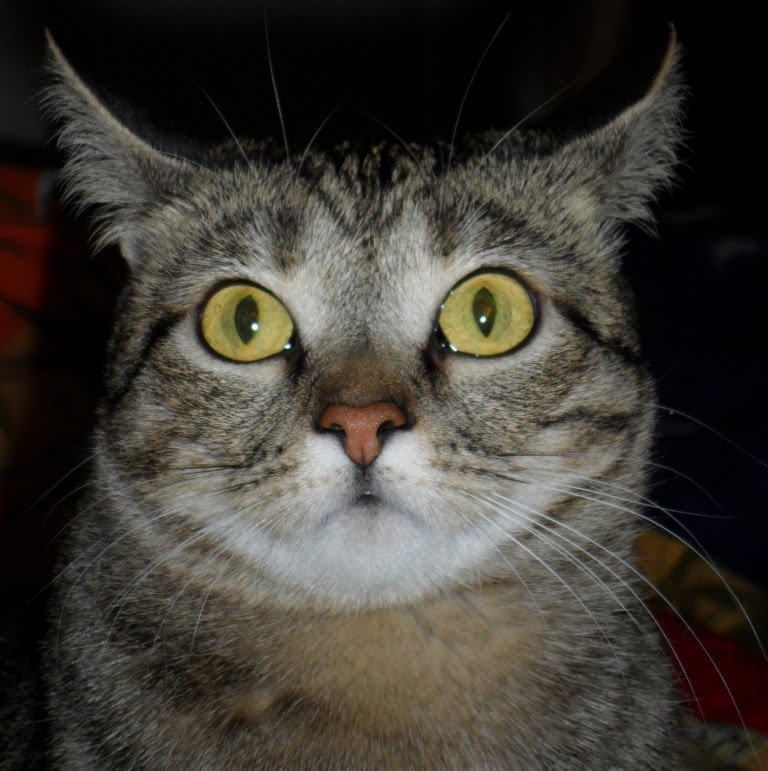 Кошка Никки, 2 часа после стерилизации и через пол-года.