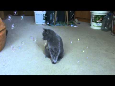 Британская кошка Боня и мыльные пузыри.