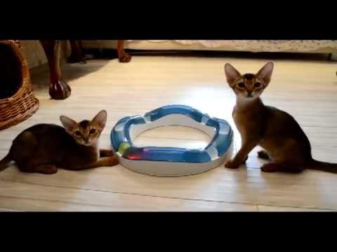 Абиссинские котята и Светящиеся  шарики