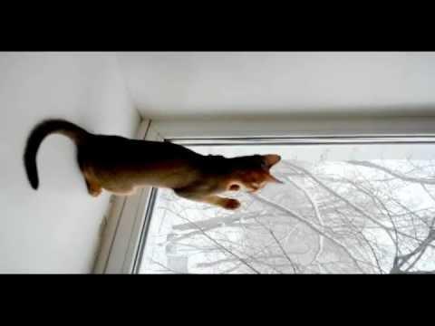 Абиссинские кошки и первый снег