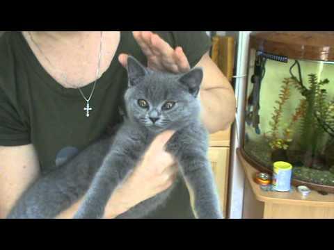 Ласковый и ручной британский котенок. П-к Silvery Snow