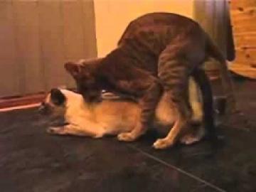 Коты.  Спаривание.  Агрессивная кошка.